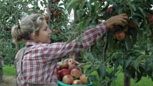 Zo'n 5.000 à 7.000 studenten helpen bij fruitpluk na oproep