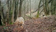 Jachtverbod in wolvengebied niet verlengd