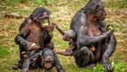 Zoo Planckendael heeft er vijf nieuwe bonobovrouwtjes bij