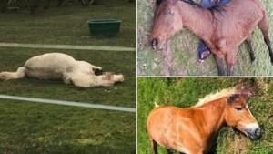 Ziekelijke dierenbeul of onbekende sekte: al minstens dertig Franse paarden op rituele wijze verminkt
