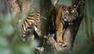 Zeldzame Sumatraanse tijger dood aangetroffen in val