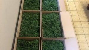 Brusselse politie vindt 1.102 cannabisplanten in bestelwagen die door rood licht reed