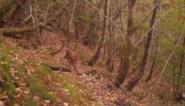 Na 25 jaar nu ook onomstotelijk bewezen: de lynx is terug in België