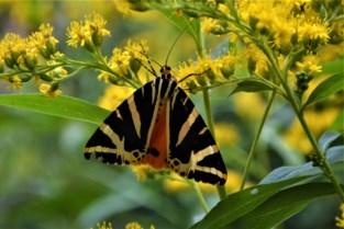Zeldzame vlinder Spaanse vlag fladdert in Kalmthoutse tuin