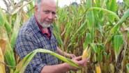 Maisoogst een maand vroeger door droogte