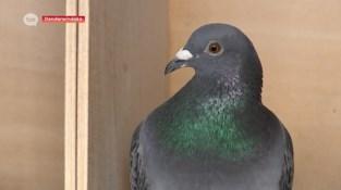 Dit is Finman, de snelste duif van ons land, en dat weten ze tot in China