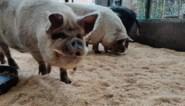 Varkens die Lidl Leopoldsburg op stelten zetten, hebben nieuwe thuis gevonden