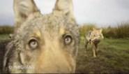 Ongerustheid na nieuwe beelden van spelende wolven: waar is het vierde welpje?
