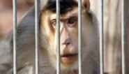 """Animal Rights: """"Bijna 2 miljoen euro belastinggeld naar nieuwe apenexperimenten aan KUL"""""""