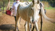 Vier verwaarloosde paarden en drie pony's in beslag genomen na advertentie op tweedehandssite