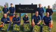 Goede druivenoogst in wijngaard van bedrijf Vyncke
