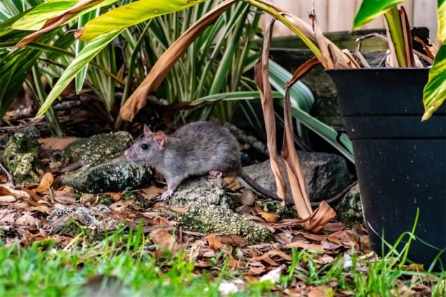 """Ratten houden Rotterdamse kinderen binnen: """"Ze lopen gewoon over straat en in de parken"""""""