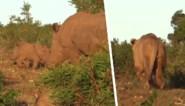 Hongerige leeuw ziet in babyneushoorn lekker hapje, maar dat laat alerte moeder niet zomaar gebeuren