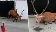 Beelden opgedoken van opgejaagd hert dat volledig uitgeput stad binnen strompelt om aan jagers te ontsnappen