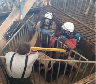 Kalfjes zakken door rooster in stal (maar dierenredders van brandweer kunnen hen redden)