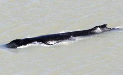 Walvis ontsnapt dan toch uit rivier vol krokodillen