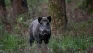Zuhal Demir wil team van professionals inzetten tegen overlast: 'jagers van wacht' om everzwijnen uit te roeien
