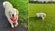 Lief: Golden Retriever wordt blind, maar krijgt eigen geleidehond om hem te helpen