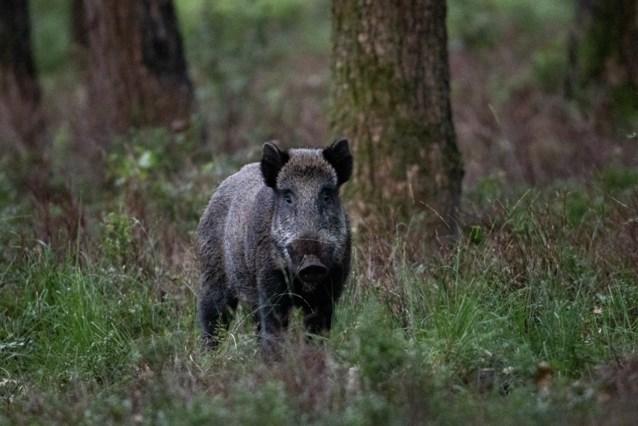 Afrikaanse varkenspest aangetroffen bij 29 everzwijnen in oosten van Duitsland