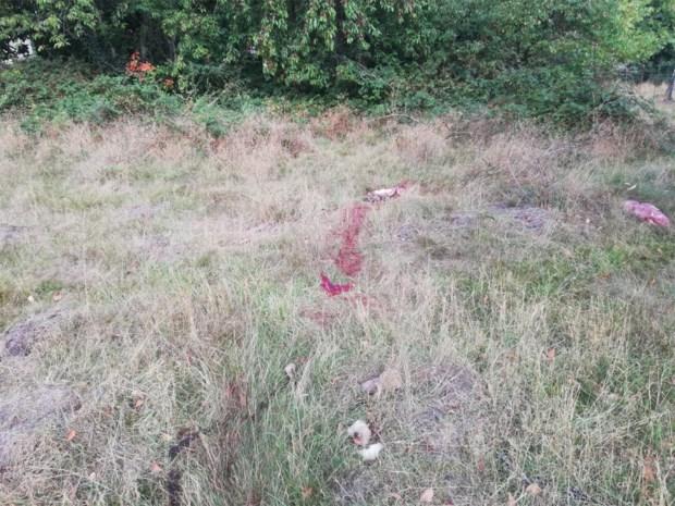 Schaap doodgebeten en even later 'hoogzwangere' wolf gespot: dader laat handelsmerk achter