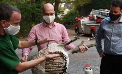 """Na weken zoeken is nest Aziatische hoornaars gevonden: """"Hopelijk hebben we drama vermeden"""""""