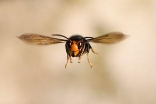 Aziatische hoornaars gespot in Oostende