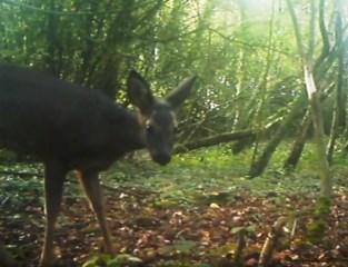Wildlife in… Menen: Natuurpunt spot nu ook reeën