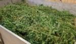 Cannabisplantage opgerold in Emblem, bewoner in de cel