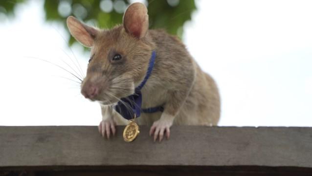 Ereteken van moed voor de heldhaftige Magawa: de mijnenjagende (Belgische) rat
