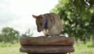 Slimme rat krijgt medaille voor zijn 'heldhaftigheid'