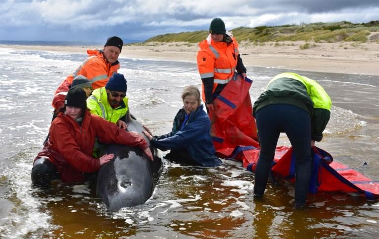 Massale stranding grienden in Australië: 350 dieren sterven, meer dan 100 gered