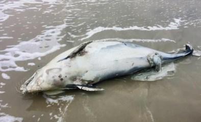 """Dode bruinvissen spoelen aan door storm Odette: """"Niet aankomen"""""""