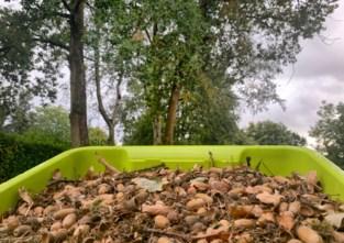 Genk verzamelt 'supereikels' om nieuwe wintereiken te planten