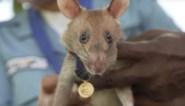 De dapperste rat ter wereld heeft een Belgisch baasje