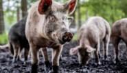 Afrikaanse varkenspest doet prijzen kelderen