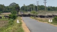 Verkeer komt tot stilstand wanneer enorme olifantenkudde de baan tracht over te steken