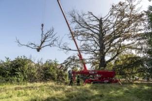 Zo kunnen we onze geliefde bomen het eeuwige leven geven...