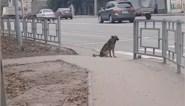 Slim: deze hond wacht braaf op groen licht vooraleer hij straat oversteekt