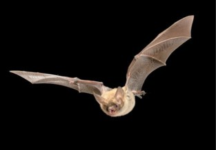 Lantis onderzoekt verhuis van vleermuispopulaties voor bouw Oosterweelverbinding