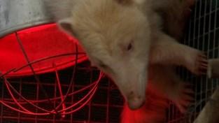 Illegaal gekweekte witte neusbeer verhuist waarschijnlijk naar Zoo Antwerpen of Planckendael