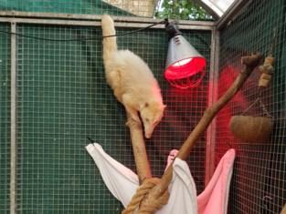 Illegaal gekweekte witte neusbeer uit boomtoppen geplukt: politie zoekt eigenaar