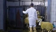"""GAIA: """"Negen op de tien Europeanen willen verbod op onverdoofd slachten"""""""