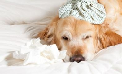 Wat als mijn hond een snotneus heeft? Dit zegt de dierendokter