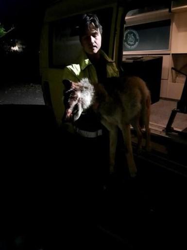 """Tweede wolf doodgereden bij oversteken in Limburg: """"Wellicht opnieuw een welpje"""""""