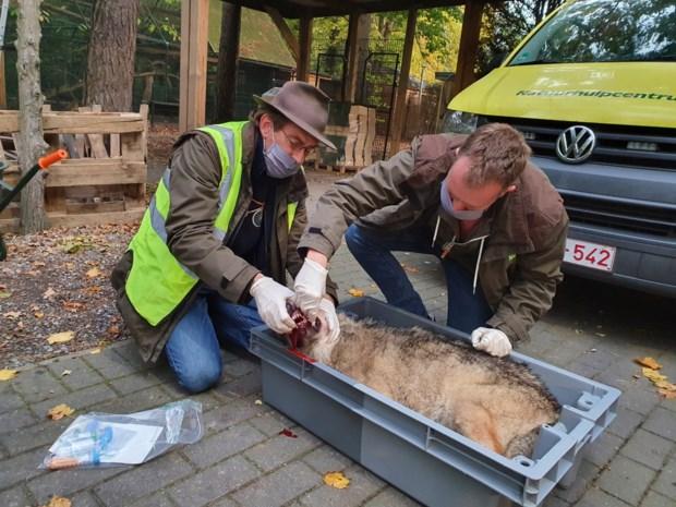 """""""Bang afwachten wat het gaat geven"""": hoe kunnen we de wolven beschermen na nieuwe fatale aanrijding?"""