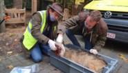 Tweede dodelijk ongeval bewijst dat wolvenwelpen in cruciale fase zitten