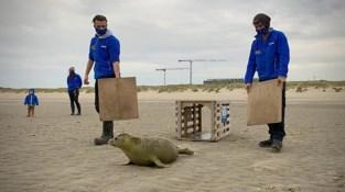 """Zeehondje Sem werd gevonden toen ze nog geen week oud was, nu wordt ze vrijgelaten: """"Heel emotioneel moment voor ons"""""""