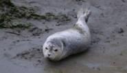 Sea Life Blankenberge laat babyzeehondje Sem vrij