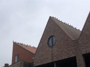 """Nog geen oplossing voor aanhoudende vogeloverlast: """"Kunnen we die duiven niet elders uitzetten?"""""""