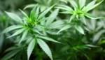 Cannabisplantage ontmanteld in woonhuis